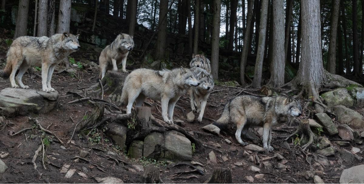 להקת זאבים