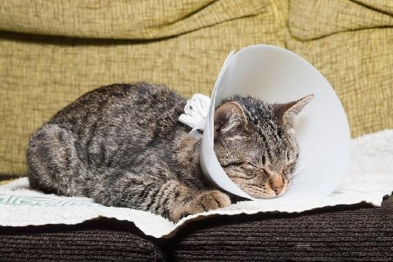 איך לטפל בחתול אחרי סירוס