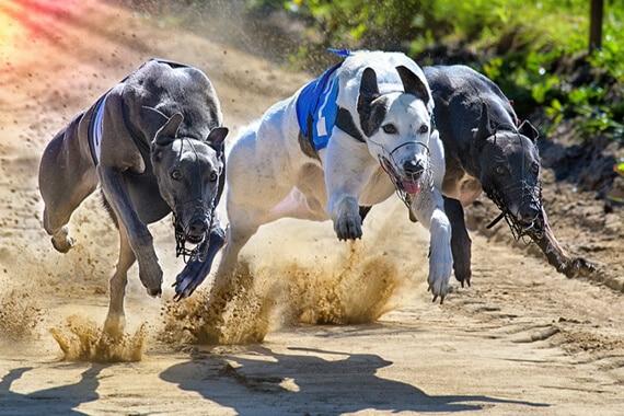סיירת כלבים