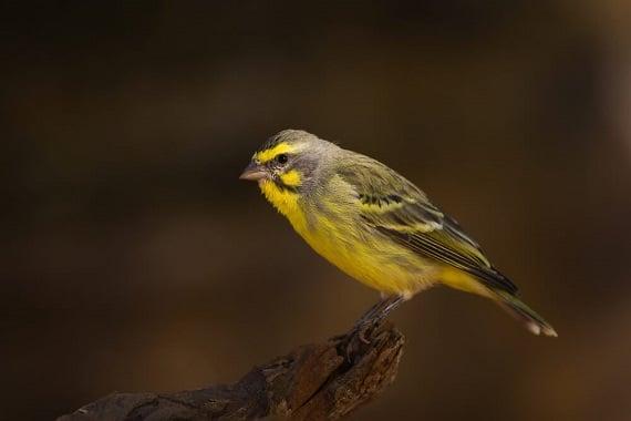 קנרית ציפור שיר קטנה