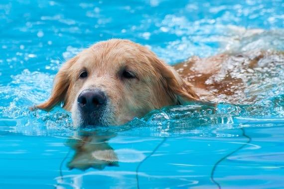 שחיית כלבים. להתחיל בפעילות בהדרגה