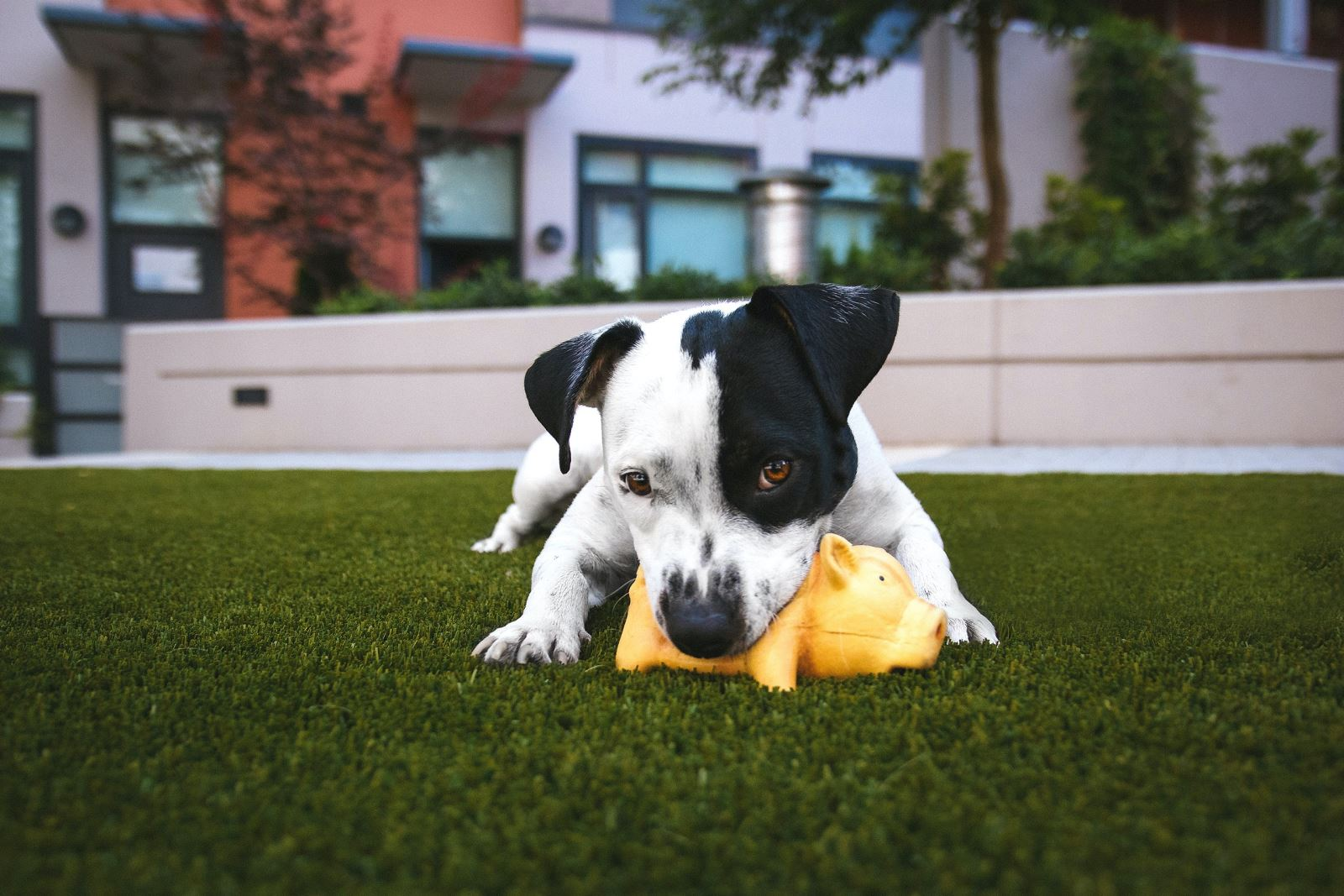 dog biting toy