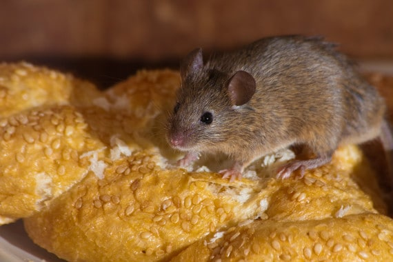איך לגדל עכבר