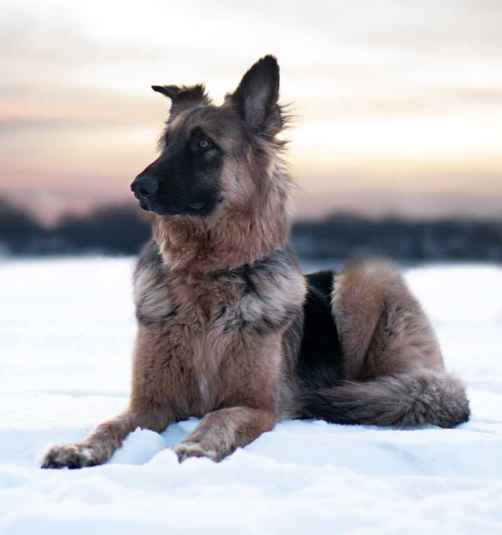 german sheapered in snow