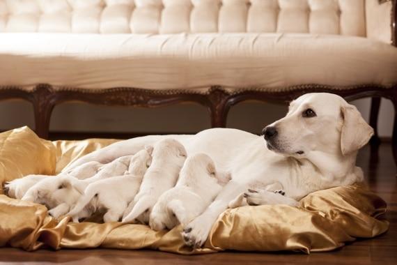 הריון כלבה