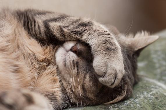 כיצד תזהו חתול חולה