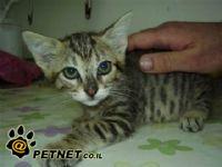 שושן צחור - היופי שהורג חתולים