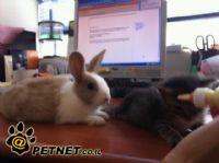 גידול ארנב מחמד