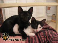 מחלות בדרכי הנשימה העליונות בחתולים