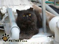 מחלת האיידס בחתולים
