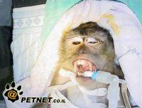 ניתוח קטרקט בקוף