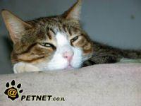 השתמנות כבד בחתולים - הפטיק ליפידוזיס