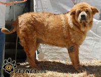 שעלת מכלאות בכלבים (טרכאו-ברונכיטיס זיהמית)
