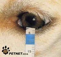 תסמונת עין יבשה בכלבים