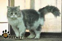 פיוטורקס- מוגלה בחלל בית החזה לחתול שמוצקי